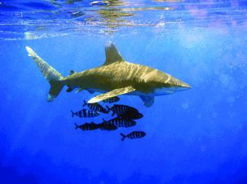 32 % من أسماك القرش مهددة بالانقراض