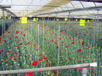 30 مليون وردة تستقبل السياح بعطرها الجذاب«تبوك»..