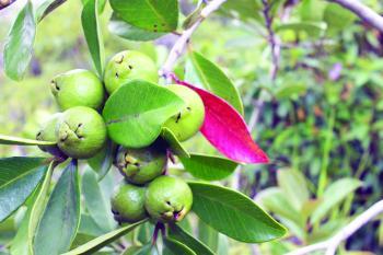 رش «البوتاسيوم والكالسيوم» لضمان وفرة محصول الجوافة
