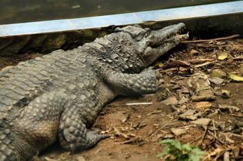 الإمساك بتمساح بجوفه بقايا بشرية في لويزيانا الأمريكية