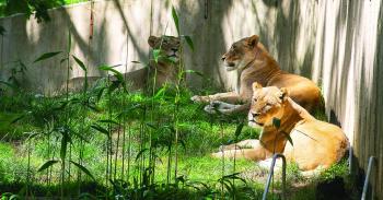 أسود ونمور سميثونيان تتعافى من كورونا