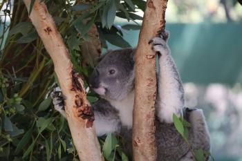 تراجع سريع لأعداد حيوان الكوالا في أستراليا.. تعرف على السبب