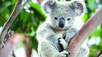 30 % تراجعا في أعداد «الكوالا»