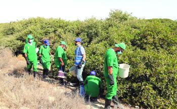بمشاركة 82 متطوعا.. جمع 57 ألف بذرة «مانجروف» في سيهات