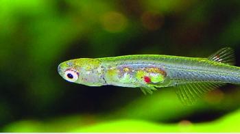 اكتشاف سمكة بجمجمة شفافة