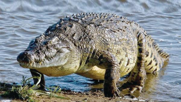 شجاعة «سبعينية» تهزم تمساحا عملاقا