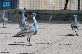 نادي الصقور يعلن السماح بصيد طيور الحباري أول نوفمبر المقبل