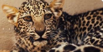 الهيئة الملكية بالعُلا تعلن ولادة «أنثى» جديدة من النمر العربي