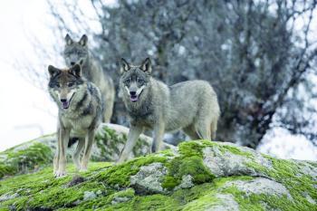 ملاحقة قتلة 11 ذئبا دون تصريح