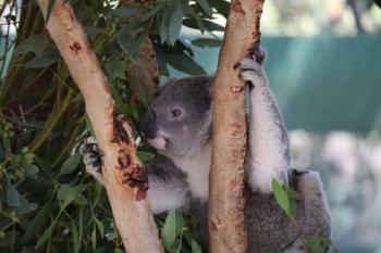 تجربة جديدة لحماية «دببة الكوالا» من الانقراض
