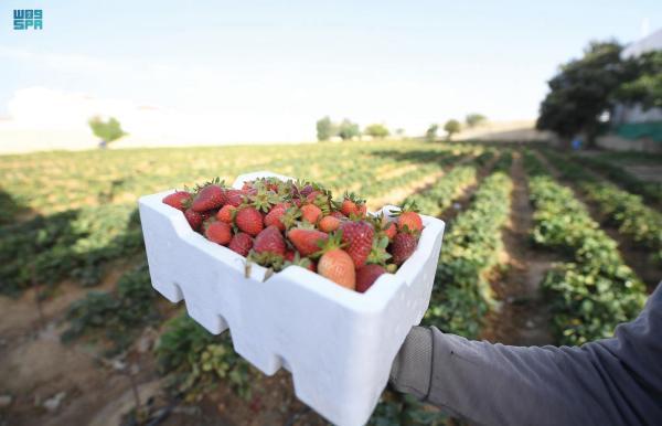 الفراولة الفاكهة الأحدث في الاستزراع بالمنطقة