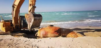 الانتهاء من دفن الحوت النافق بشاطئ رأس تنورة : عاجل