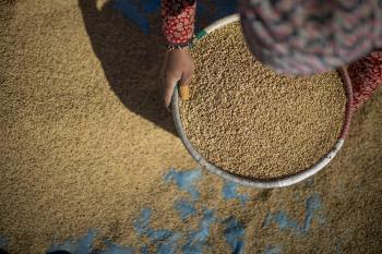 صور.. موسم حصاد الأرز في نيبال