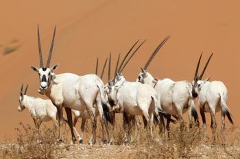 يتحمل 50 درجة مئوية.. معلومات مثيرة حول حيوان المها العربي